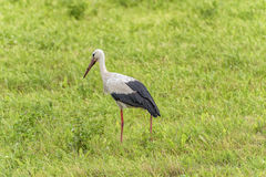 Stork is Walking on the grass in rural area. Dirty Beak Stock Photo