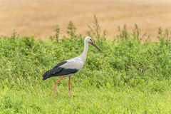 Stork is Walking on the grass in rural area. Dirty Beak Royalty Free Stock Photos