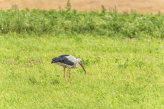 Stork is Walking on the grass in rural area. Dirty Beak and eating worm Royalty Free Stock Photo