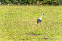 Stork is Walking on the grass in rural area. Green Grass in Background Royalty Free Stock Images