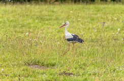 Stork is Walking on the grass in rural area. Green Grass in Background Stock Photography