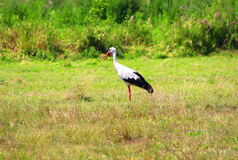 Stork is Walking on the grass in rural area Royalty Free Stock Photos