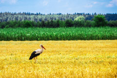Stork is Walking on the grass in rural area Royalty Free Stock Image