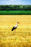 Stork is Walking on the grass in rural area Stock Photos