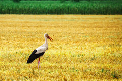 Stork is Walking on the grass in rural area Stock Photography