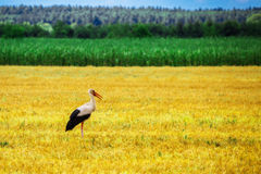 Stork is Walking on the grass in rural area Stock Images