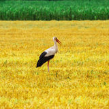 Stork is Walking on the grass in rural area Stock Photo