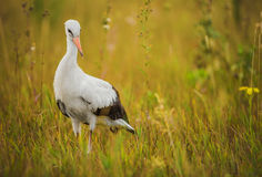 Stork walking on the grass Royalty Free Stock Photo
