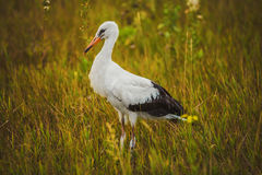 Stork walking on the grass Stock Photography