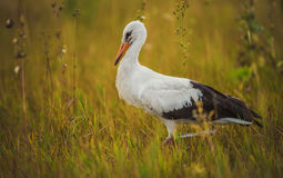 Stork walking on the grass Stock Image