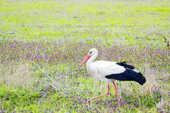 Stork walking in green field with flowers. Stork walking in green field with violet wild flowers Stock Photos