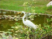Stork walking through a green lake Stock Images
