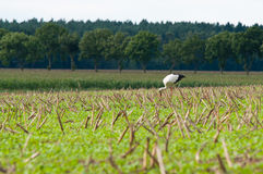 Stork walking on green meadow Stock Image