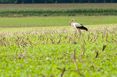 Stork walking on green meadow Stock Photo