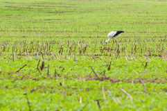 Stork walking on green meadow Royalty Free Stock Images