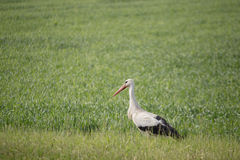 Stork walking on green spring or summer field.  Stock Photography