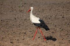 Stork walking Royalty Free Stock Photography
