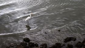 Stork walking near the rocky bed by the sea Stock Photo