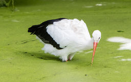 Stork walking in a pond filled with duckweed Stock Photos