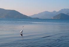 Stork walking on the sea. Stork walking of the sea of Marmaris Royalty Free Stock Images