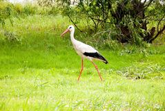 Stork in the forest. Stork walking in a summer forest Stock Image