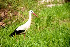 Stork in the forest. Stork walking in a summer forest Stock Images