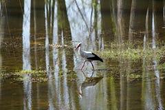 Stork walking on the swamp Stock Photo