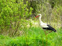 The stork walks among the bushes. In summer Stock Photos