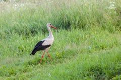 Stork walks Royalty Free Stock Photo