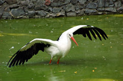 Stork in the water. Spreading its wings Royalty Free Stock Photo