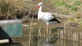 Stork in the water stock video footage