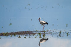 Stork in the Water Royalty Free Stock Photography