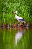 Stork on the water. In the wild Royalty Free Stock Image