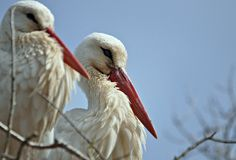 Stork of the wetlands Stock Photography