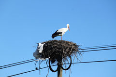 Stork. Which nest is at the top of an electric power pole (Portugal stock image