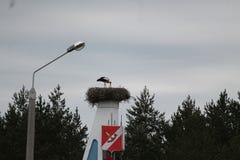 Stork. White beautiful bird stork feeding his chickes in big nest   in warm rainy  spring day Royalty Free Stock Photos