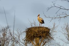 Stork. White stork (Ciconia ciconia) in the last rays of sun royalty free stock photography