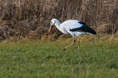 White Stork at foraging royalty free stock photo