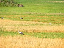 Stork. White, majestic, many storks on a oast field. Stock Images