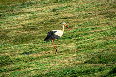 Stork. White Stork on the mown lawn looking for food Royalty Free Stock Images