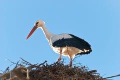 Stork. White stork in the nest Royalty Free Stock Images