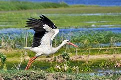 Stork. A white stork ready to fly in Danube Delta, Romania stock image