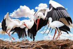 Stork, White Stork, Bird, Beak royalty free stock photos