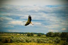 Stork. Royalty Free Stock Photos