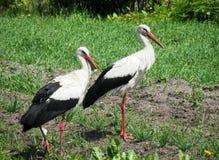 Stork. Stock Photos