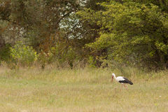 Stork in the wild habitat Stock Image