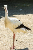 Stork wildlife bird zoo zoological Royalty Free Stock Photography