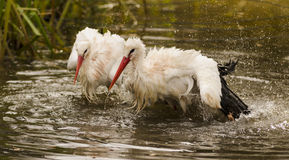 Stork. In wildpark Forest Bayern Germany Stock Photography