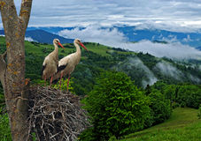 Stork on wing. Stork in the wild life Stock Photography