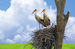 Stork on wing Stock Photography